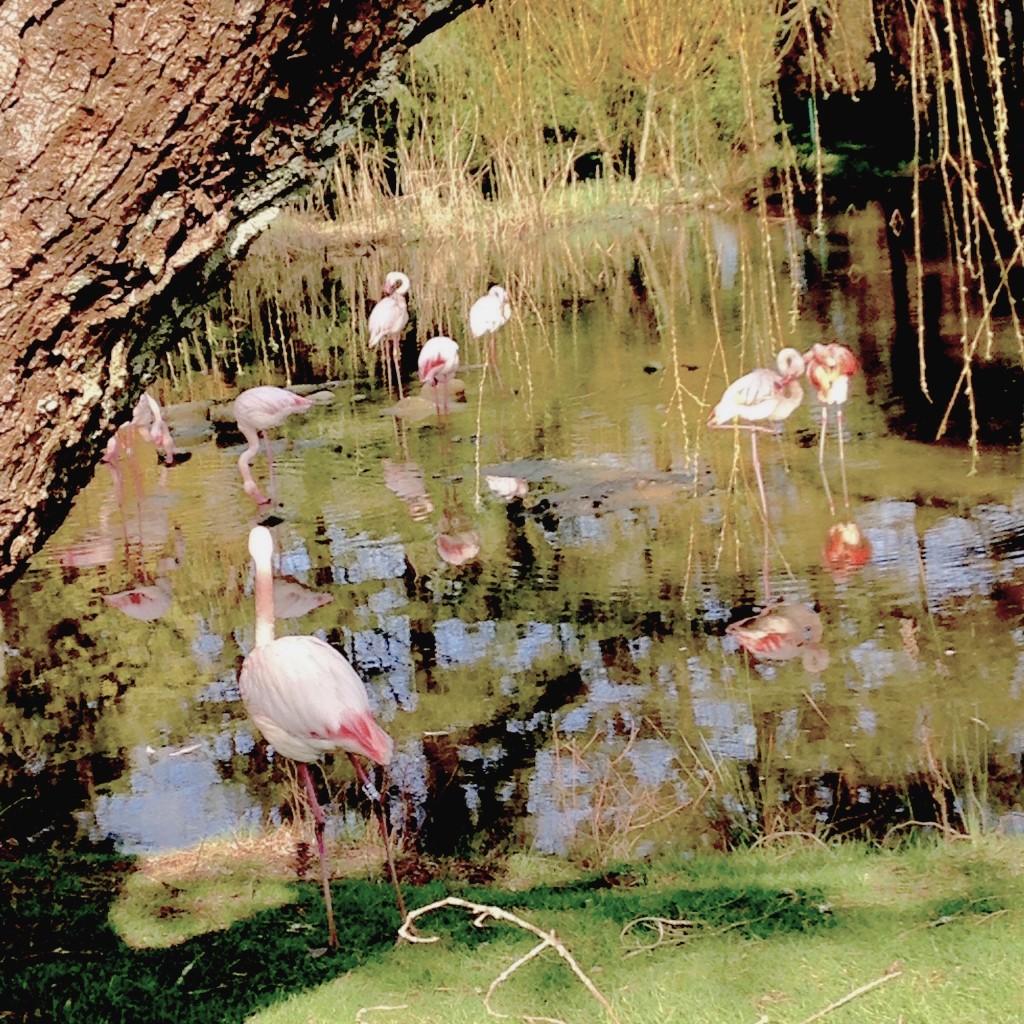 Flamants roses au Parc Animalier de Branféré - 2016