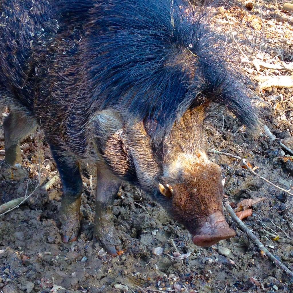 Un sanglier au Parc Animalier de Branféré - 2016