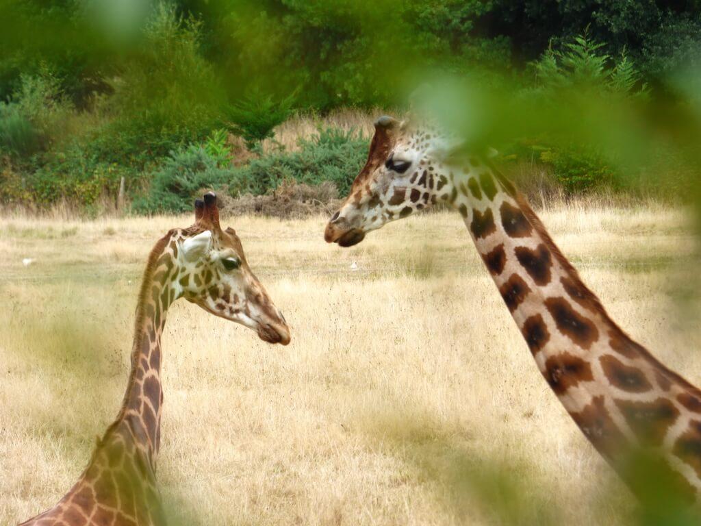 Girafes du Parc Animalier de Branféré - Morbihan