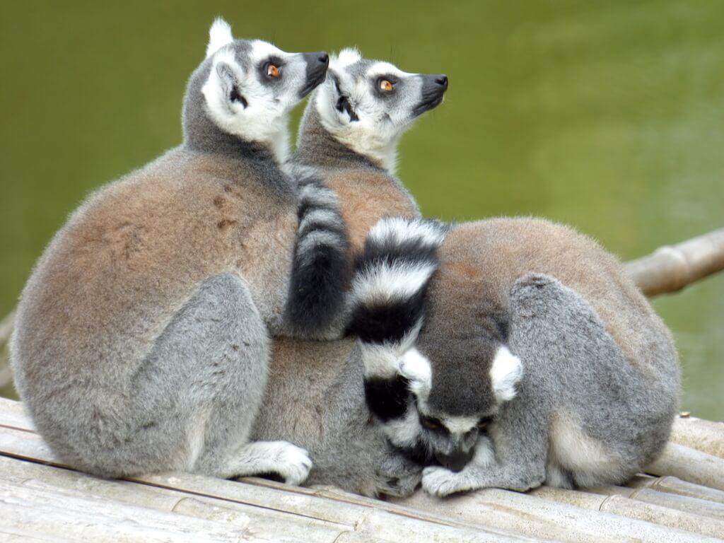 Trio de lémuriens du Parc Animalier de Branféré - Morbihan