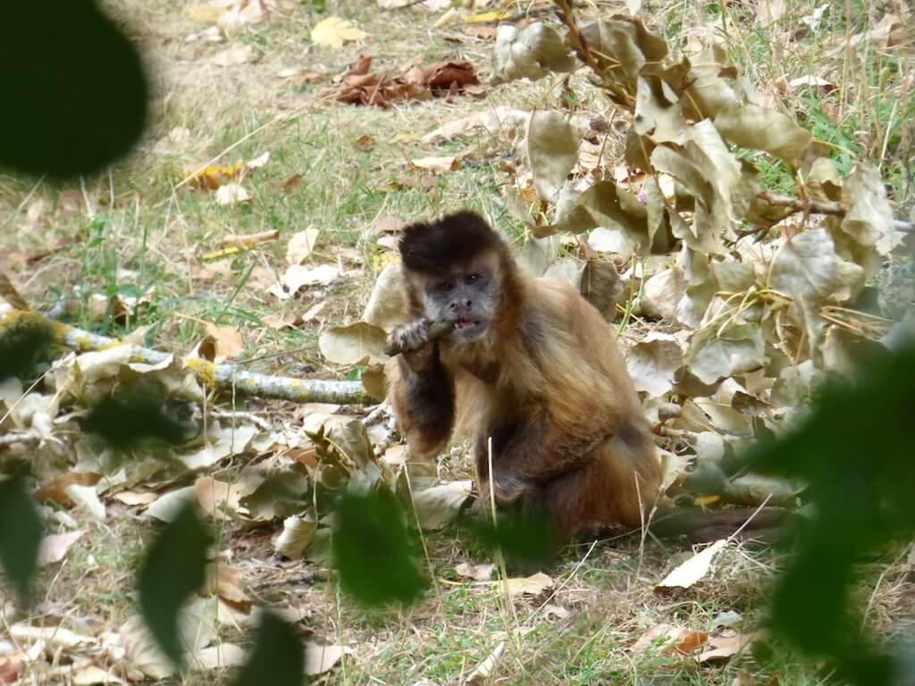 Singe capucin du Parc Animalier de Branféré - Morbihan