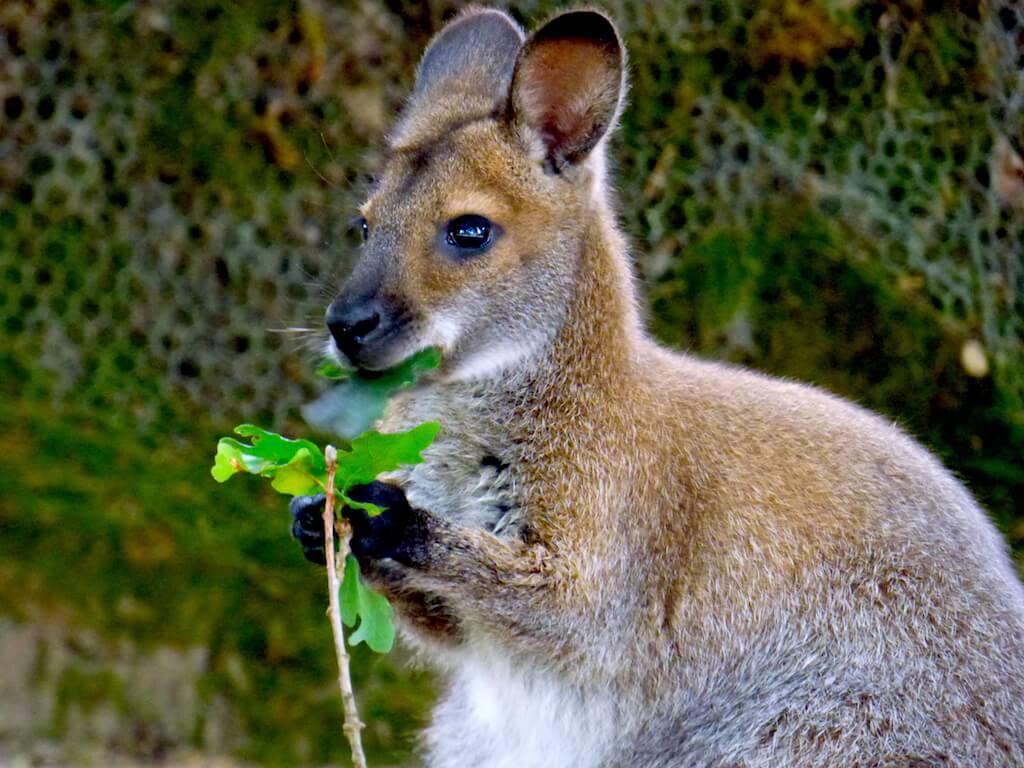 Wallaby du Parc Animalier de Branféré - Morbihan
